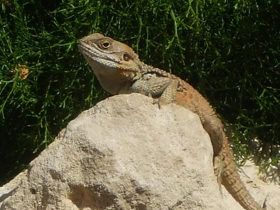 Atlantica Golden Beach Hotel : One of the resident lizards