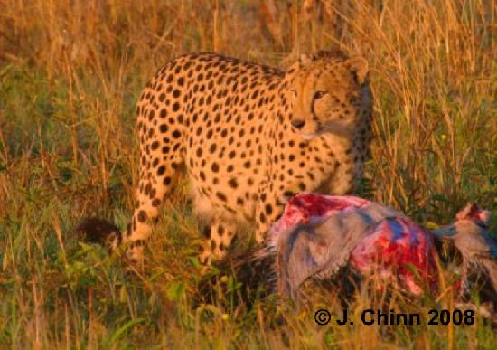 Botswana: Cheetah Breakfast