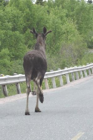 Newfoundland and Labrador, Canada: and, of course, moose.