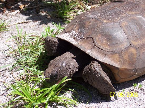 Manasota Beach Club : Gopher Turtles live all around the property