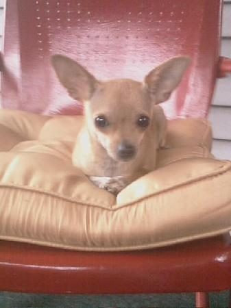 Jade East Motel: Mia -Mya Chihuahua