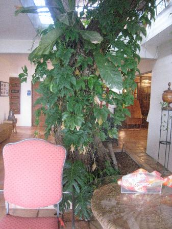 Hacienda Tamarindo: Tamarindo tree in the lobby