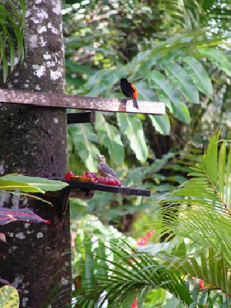 Corcovado Beach Lodge: BIrds at feeder, dining area