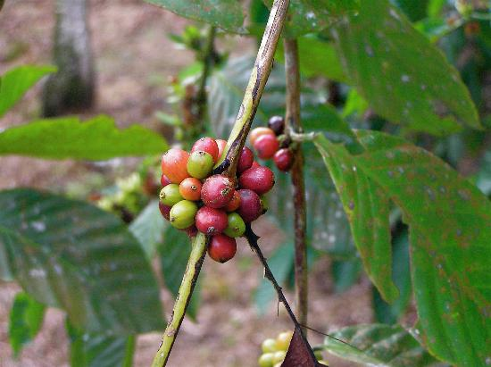 La Isla Hosteria: Coffee Beans