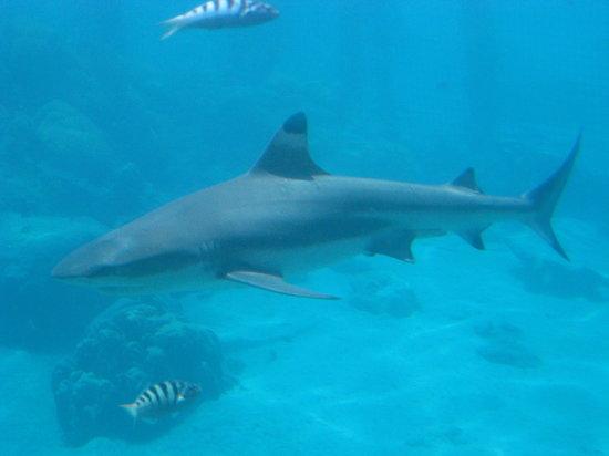 Tahiti, Polinesia Francesa: Black tip reef shark