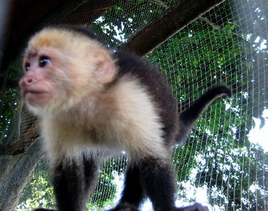 Finca Las Nubes: Juanito-- the Pet Monkey