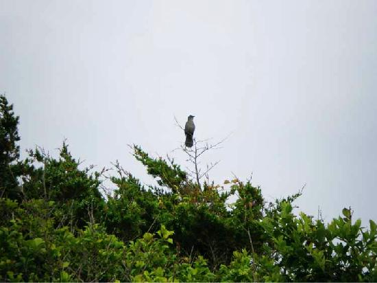Fire Island, NY: native bird singing on top of tree
