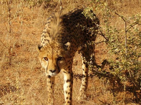 Okambara Elephant Lodge: Im Revier der Geparden