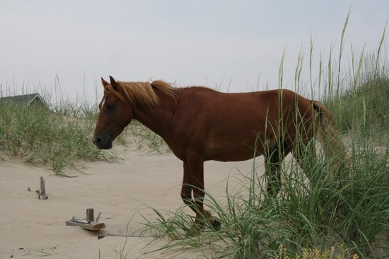 Corolla, NC: Wild Horse Close Up