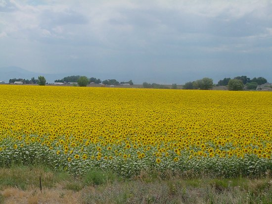 Aurora, CO: Sunflowers, Colorado Plains