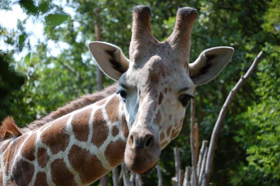 Woodland Park Zoo: Giraffe feeding
