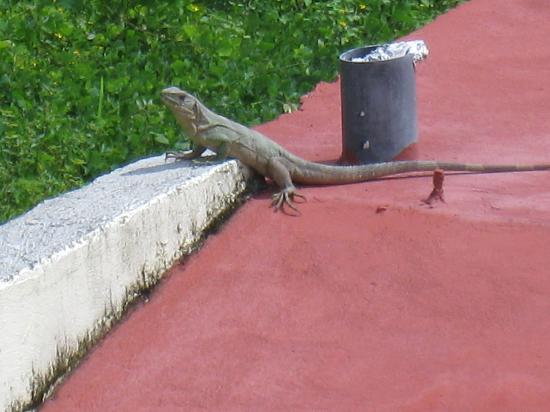 Villas Pepitas: Lizard that lives under the pool!