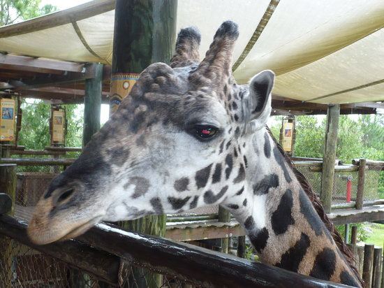 Melbourne, FL: Giraffe at Zoo