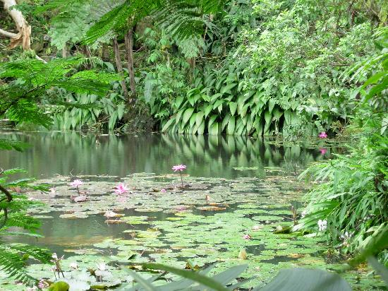 Colo I Suva Rainforest Eco Resort: lily pond