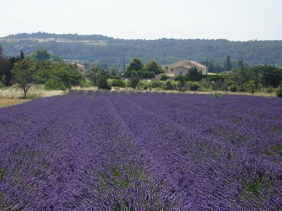 Lavander in full bloom in Provence