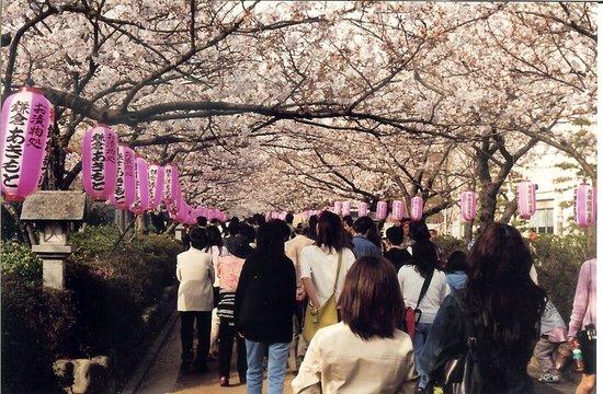 Kamakura, Japan: Cherry Blossoms