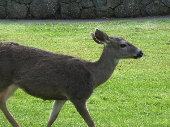 Landmark Orcas Island: Gentle deer everywhere