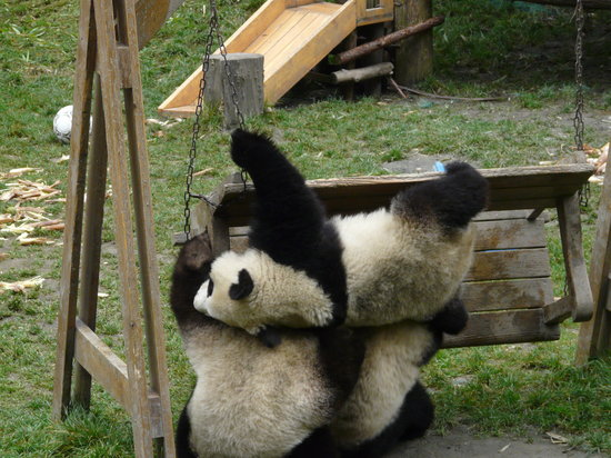 Wenchuan County, China: Three pandas falling off a bench