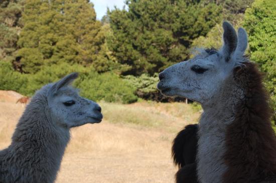 Glendeven Inn Mendocino: the llamas
