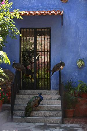 El Carmen, Mexico: Peacocks everywhere!