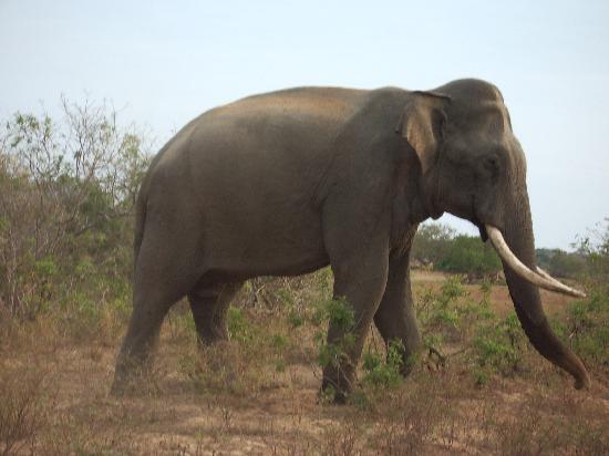 Vivanta by Taj - Bentota: Tusker Elephant Yala Park