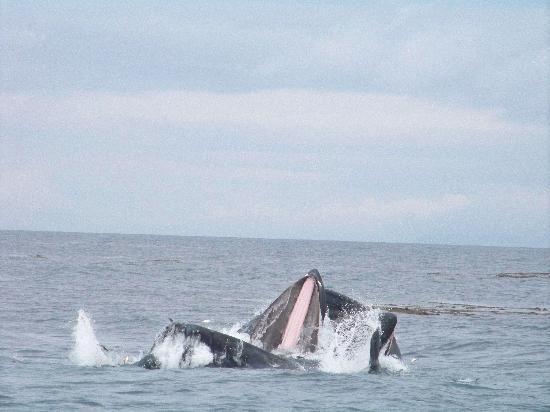 Humpbacks off Prince Rupert, Canada