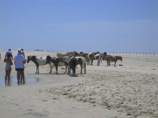 Assateague Beach: Wild Horses III