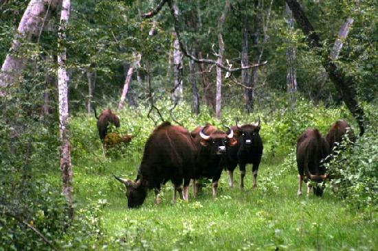 Orange County Resorts Kabini : Indian Bison herds