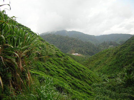 Cameron Highlands, Malaysia: View over Tea Plantations