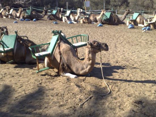 Hotel Rocas Rojas: awesome camels maspalomas