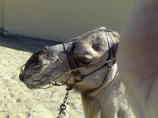Hotel Rocas Rojas: cheeky camel