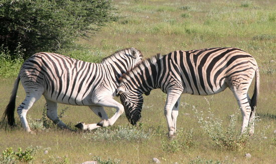 Namibya: playful zebra, Etosha National park