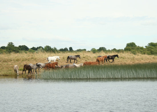 Athlone, İrlanda: Horses come to drink from the Lough Ree