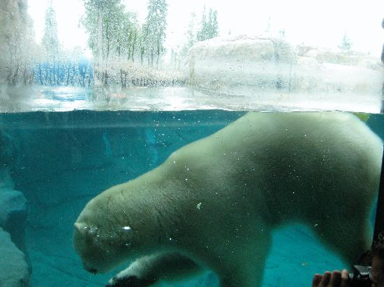 Polar Bear Habitat & Heritage Village: Going for a swim