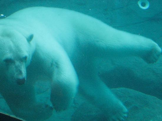 Polar Bear Habitat & Heritage Village: Swimming