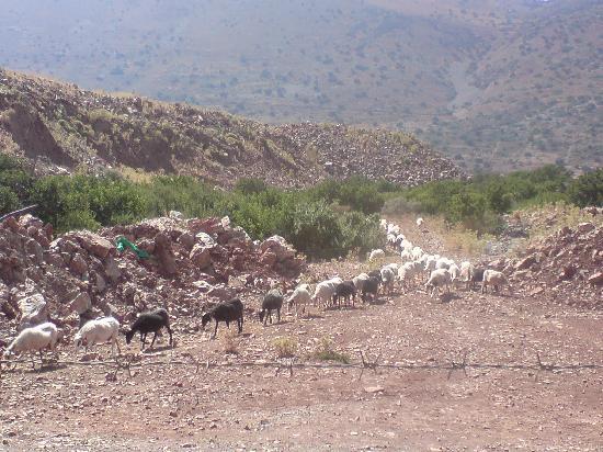 Elounda Carob Tree Valley: The goats, 100's of them!