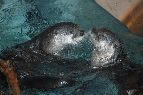 Tupper Lake, Estado de Nueva York: Otters swimming inside