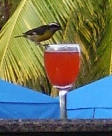 Laguna Mar: Fruit Punch drinking Bird (Tiny!) Pool Bar South Tower Clover Pool