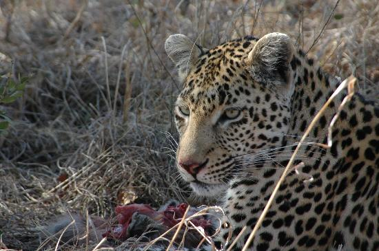 Rattray's on MalaMala: Leopard Eating a Baboon