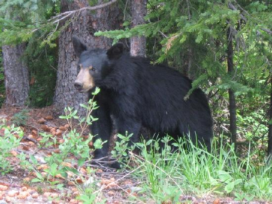 Buffaloberry Bed and Breakfast: Blackbear near Morraine Lake