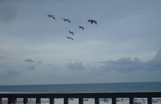 Commodores Retreat : pelicans