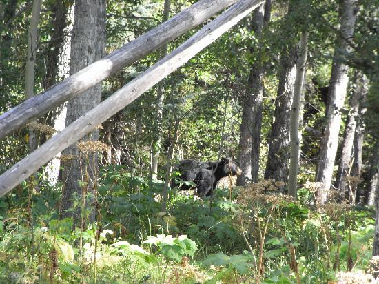 Brewster's Kananaskis Guest Ranch : The bear