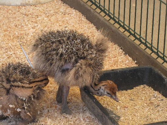 Le Parc Australien : les autruchons de 9 jours