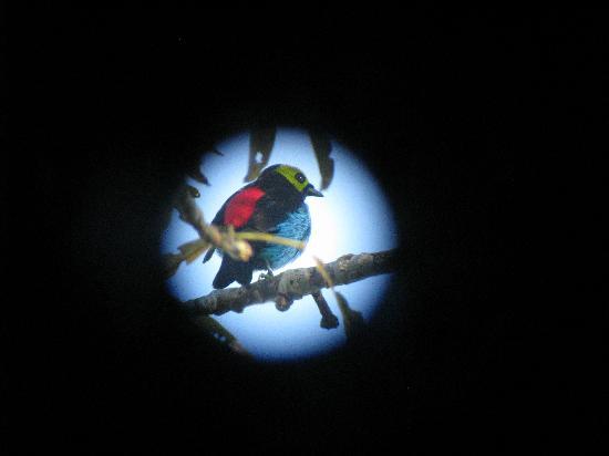 Napo Wildlife Center Ecolodge: paradise tanager