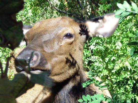 Gilded Pine Meadows Bed and Breakfast: Elk grazing behind the gazebo