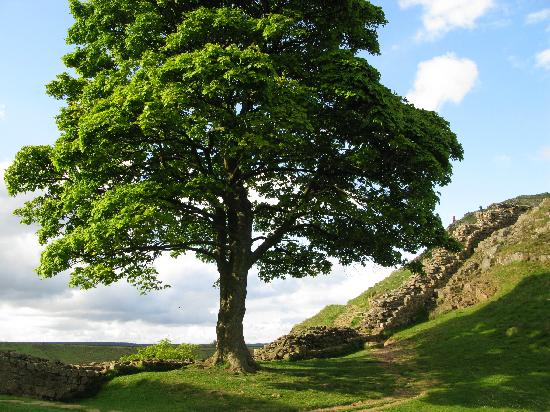 Northumberland, UK : Sycamore Gap - Robin Hood's Tree