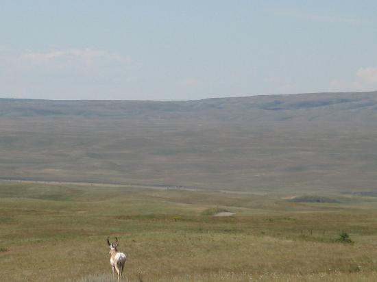 Cypress Hills Interprovincial Park: Antelope