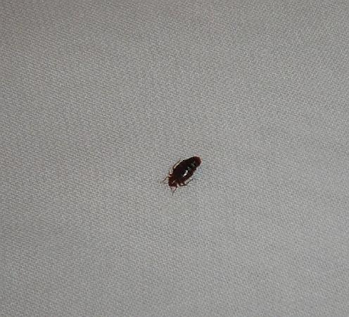 Pancioli Majestic Hotel: Bedbugs
