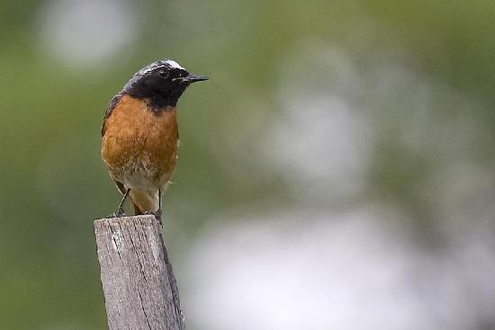 Vecchio Podere Santa Cristiana : A Redstart near the house