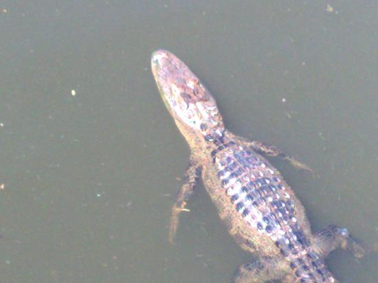 Holiday Inn Express Hotel & Suites Charleston/Ashley Phosphate: even more pond life next door